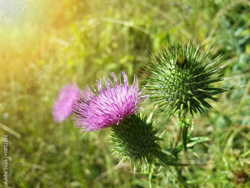 Fotografía Beautiful purple burdock among green grass/Beautiful purple burdock among green