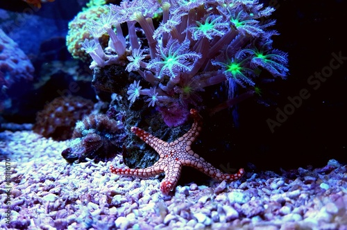 Papel de parede  Amazing red starfish in coral reef aquarium tank