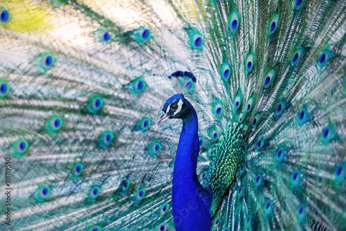 Foto op Plexiglas Pauw Beautiful blue peacock in a public park in Madrid