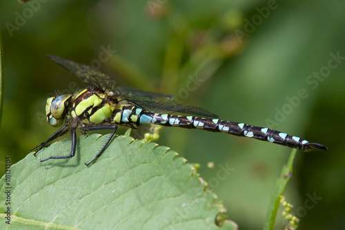 A male Southern Hawker dragonfly, aeshna cyanea, resting on a leaf.