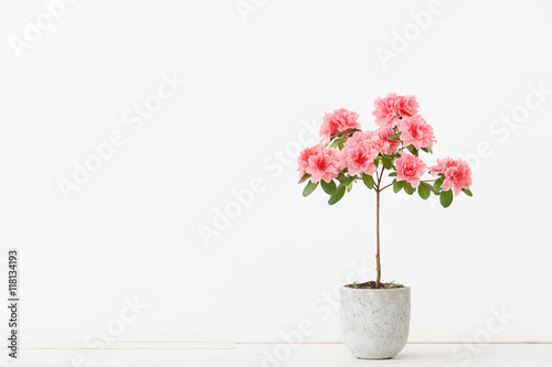Papiers peints Azalea Pink azalea flower in a concrete pot