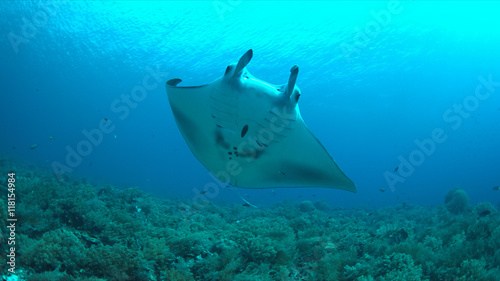 Fotografia Manta ray swims on a coral reef.
