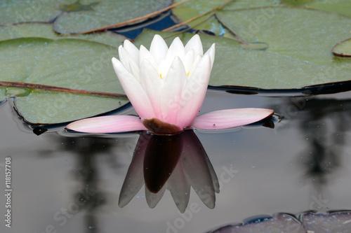 Obraz lilia wodna lilia-wodna-wsrod-lisci