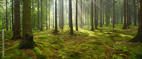 Foto auf Gartenposter Wald Spruce Tree Forest, Sunbeams through Fog illuminating Moss Covered Forest Floor, Creating a Mystic Atmosphere