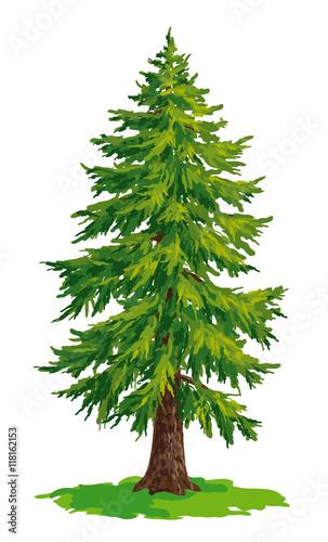 Fototapeta Vector drawing of fir tree obraz
