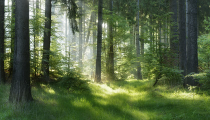 Naturalny Las Świerkowych Drzew, Promienie Słońca przez Mgłę tworzą mistyczną Atmosferę
