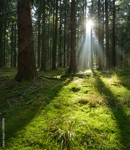 Fototapeten Wald Spruce Tree Forest, Sunbeams through Fog illuminating Moss Covered Forest Floor, Creating a Mystic Atmosphere