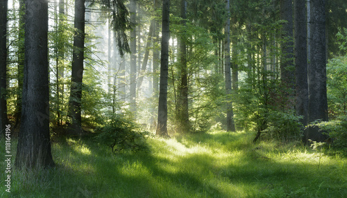 Poster Bossen Natural Forest of Spruce Trees, Sunbeams through Fog create mystic Atmosphere