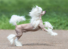 Chinese Crested Dog Breed. Mal...