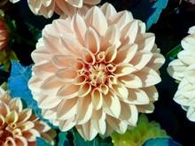Peach Dahlia Flower
