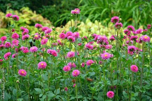 In de dag Dahlia Pink dahlia garden