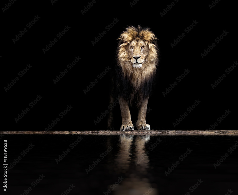 Fototapeta Portrait of a Beautiful lion, lion at the waterhole