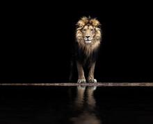Portrait Of A Beautiful Lion, Lion At The Waterhole