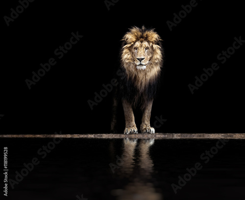 Portrait of a Beautiful lion, lion at the waterhole