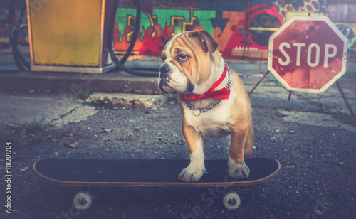 Bulldog puppy on skateboard