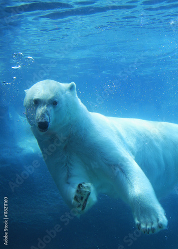 Fotobehang Ijsbeer Polar bear swimming underwater