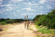 Two Giraffes On Safari In Amboseli