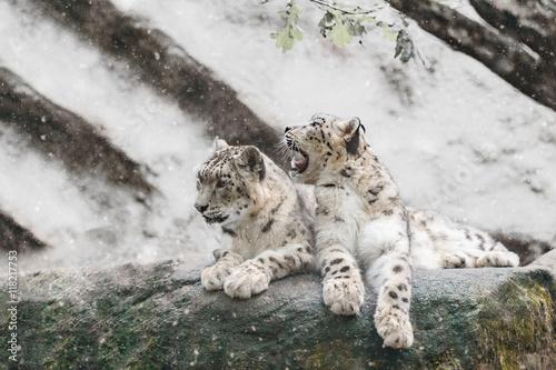 Deurstickers Luipaard snow leopard family, Irbis Uncia uncia
