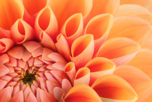 Orange Flower Petals, Close Up...