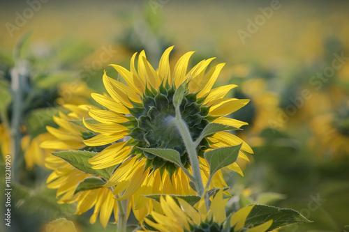 In de dag Zonnebloem close up sun flowers in green field