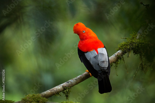 Photo Andean cock-of-the-rock in the beautiful nature habitat, Peru, wildlife pictures