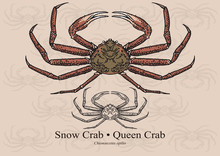 Snow Crab (Queen Crab). Vector Illustration For Artwork In Small Sizes. Suitable For Graphic And Packaging Design, Educational Examples, Web, Etc.