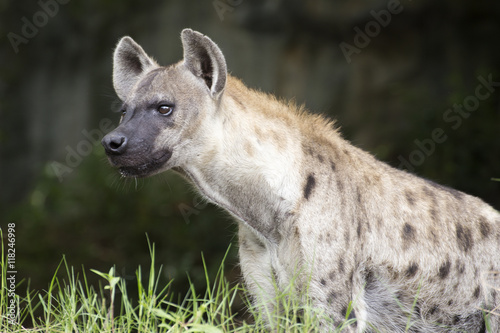 Poster Hyène Spotted Hyena watching something