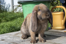 A Floppy Eared Red Rabbit Is S...