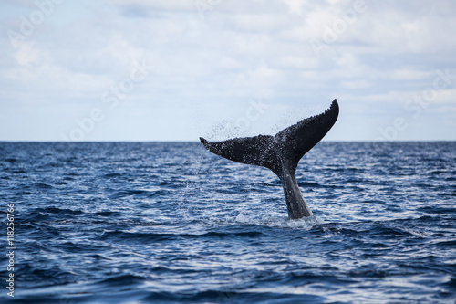 Photo  Humpback Whale Tail and Ocean