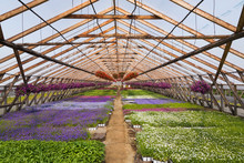 Commercial Greenhouse With Purple And Red Petunias In Hanging Baskets And Mixed White, Lavender And Blue Flowering Plants In Containers