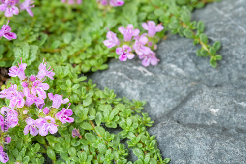 Fotografie, Obraz  Creeping thyme with pink flowers over a blue gray stone, as a background