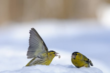Flapping Wings Siskin In Snow