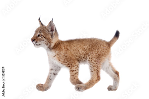 Spoed Foto op Canvas Lynx Eurasian Lynx cub on white