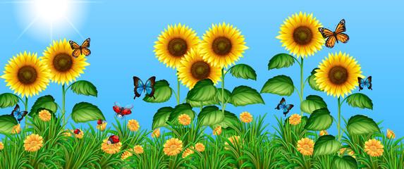 Fototapeta Motyle Butterflies flying in the sunflower field