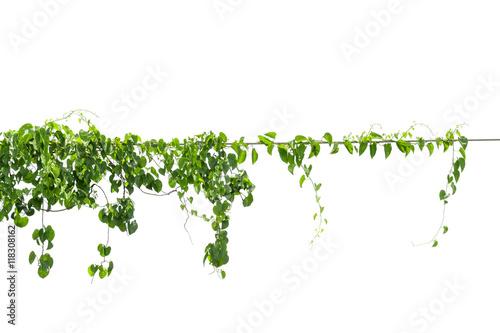 Poster Vegetal Vines on poles