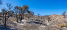 Forest After California Wildfire