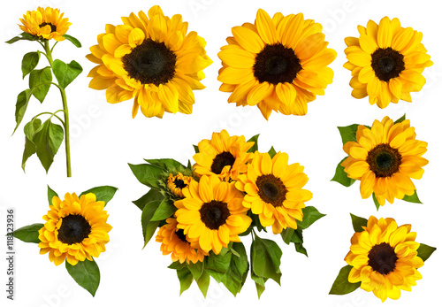 In de dag Zonnebloem Set of photos of shiny yellow sunflowers, isolated on white