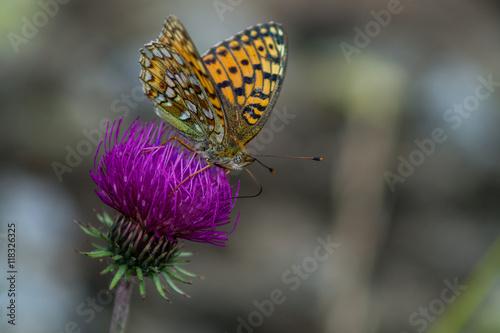 Photographie  Papillon, mite, macro d'insecte