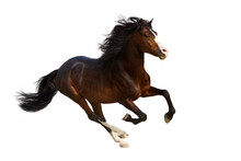 Bay Stallion With Long Mane In Motion Isolated On White Background