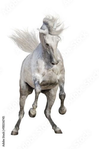 Fototapeta White stallion with long mane rearing up isolated on white background obraz