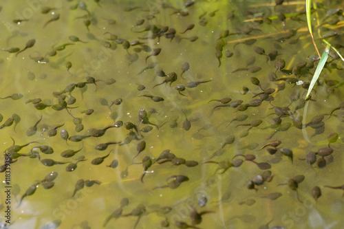 Fotografia, Obraz  Kaulquappen in einem Teich