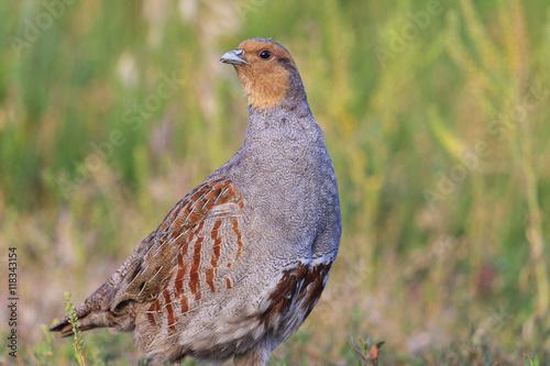 Fotografia gray partridge wary looks