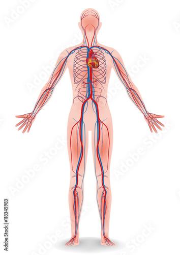 Fotografía  human body and circulatory system, vector diagram