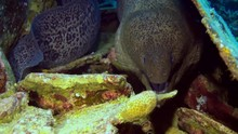 Giant Moray Eel With Dislocate...
