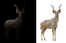 Greater Kudu In The Dark And White Background