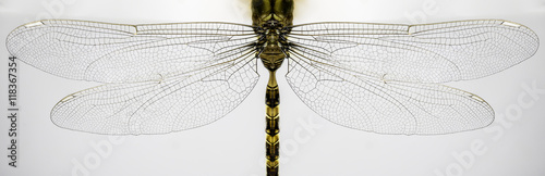 Macro of dragonfly wings and body isolated on white background.
