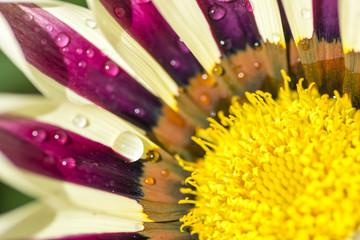 FototapetaBeautiful flower Gazania with dew drops