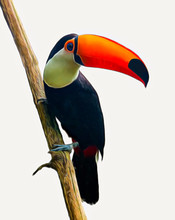 The Toucan Toco  Sitting On A Branch Isolated  On White