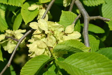 The Blossoming Elm Rough, A Form  Drooping  (Ulmus Glabra Huds.,