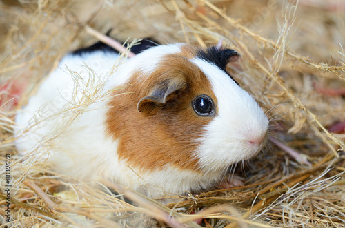 Fotografía  Cute Red and White Guinea Pig Close-up. Pet in its House